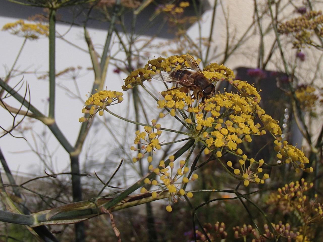 Honey bee on fennel flower