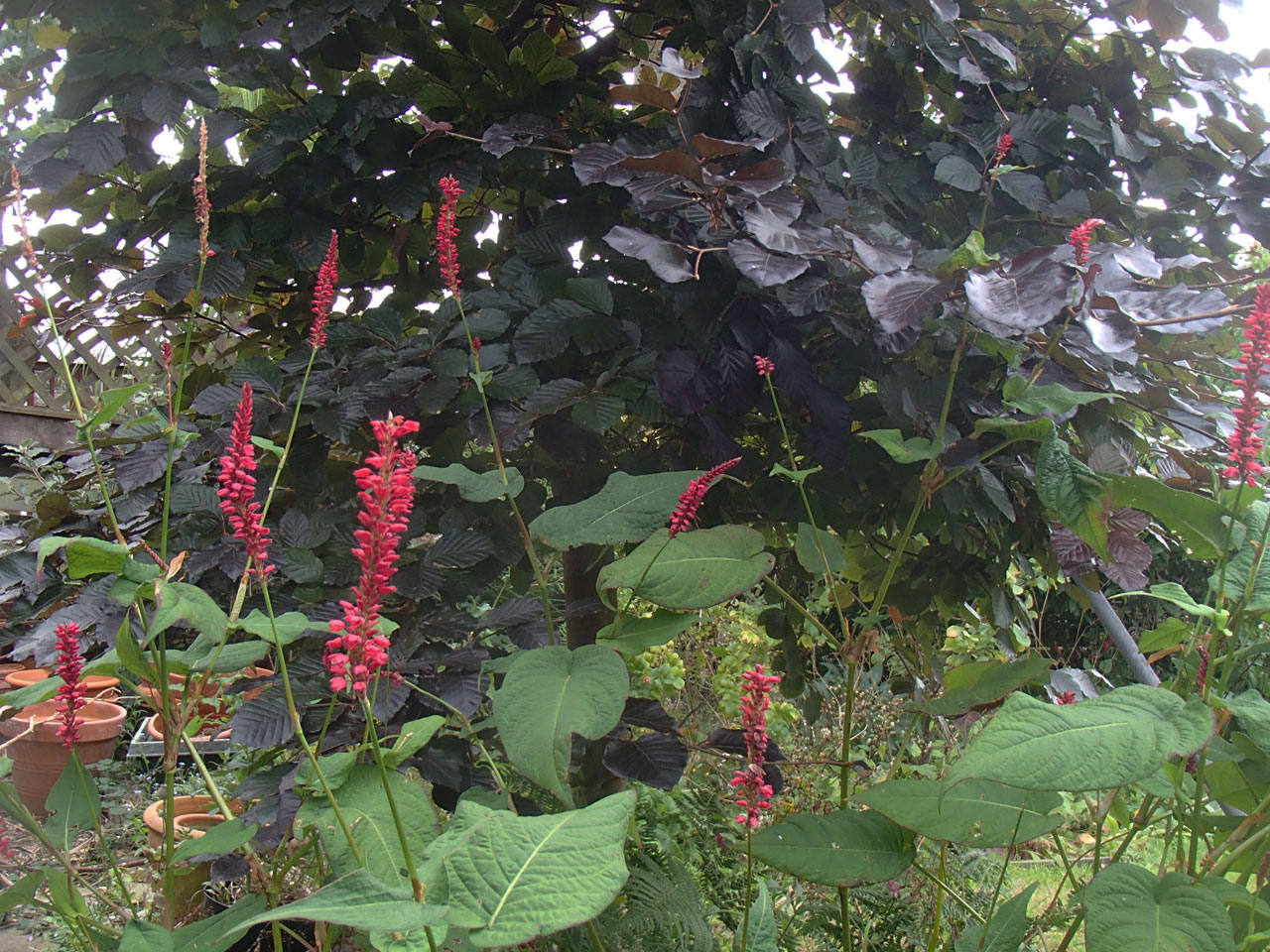 persicaria and copper beech