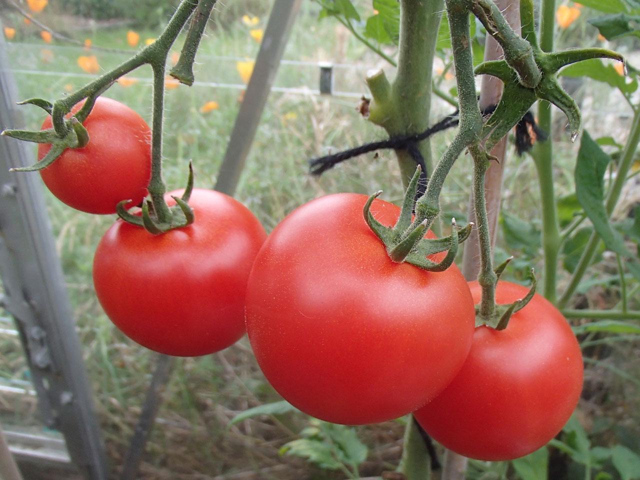 blizzard tomatos