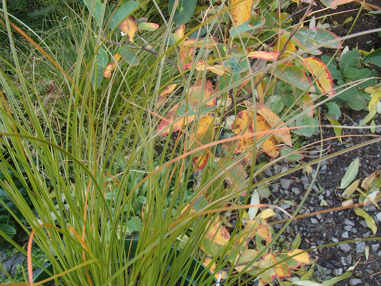 carex testacea with amelanchier
