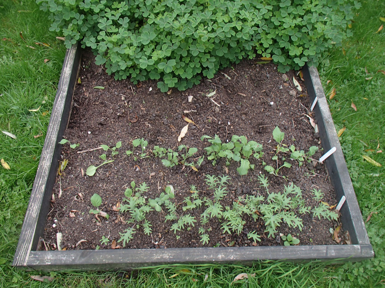 chinese kale and Rouge de Russie seedlings