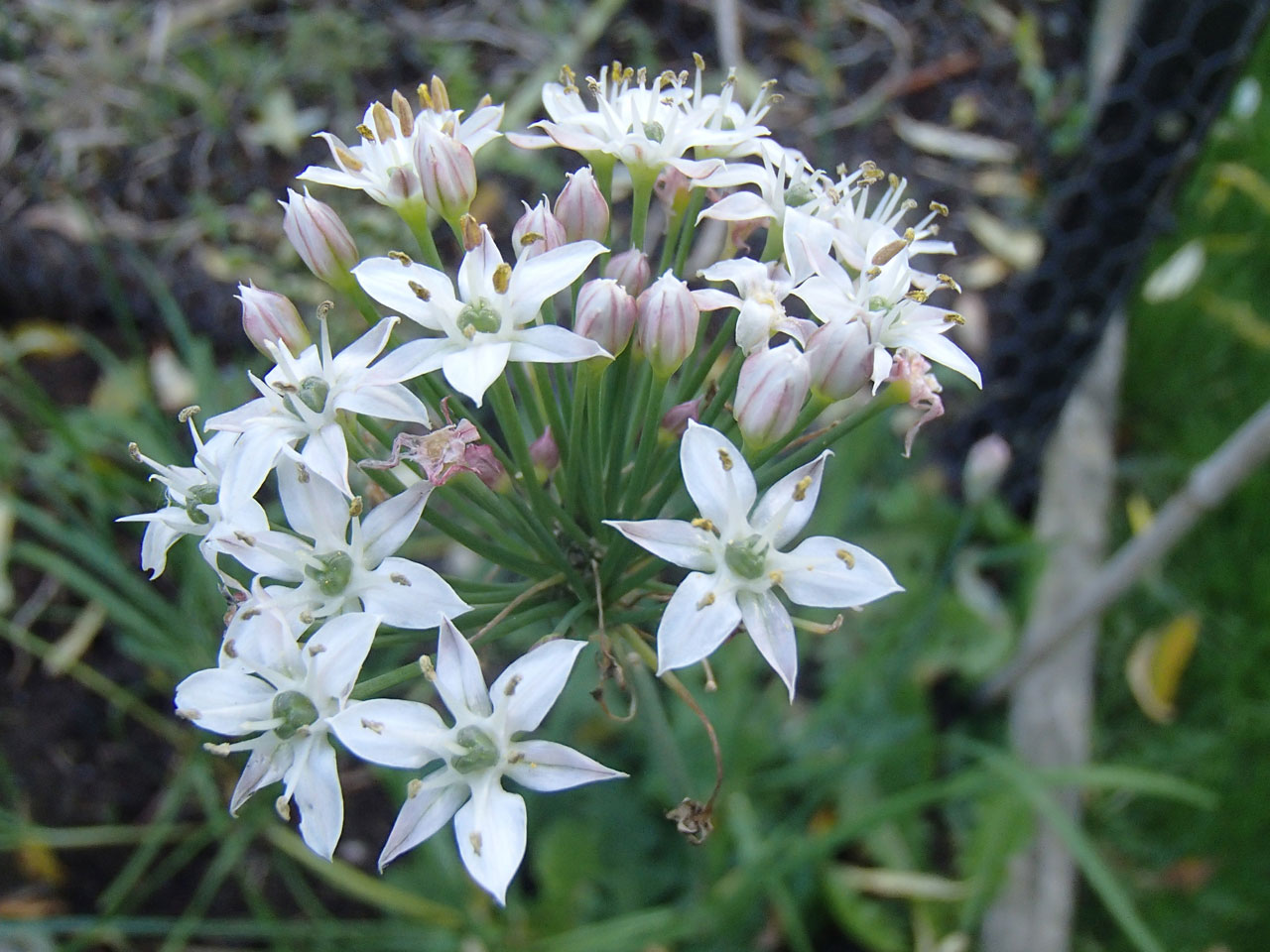 garlic chive flower
