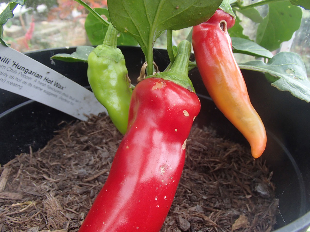 Chilliu Hungarian Hot Wax