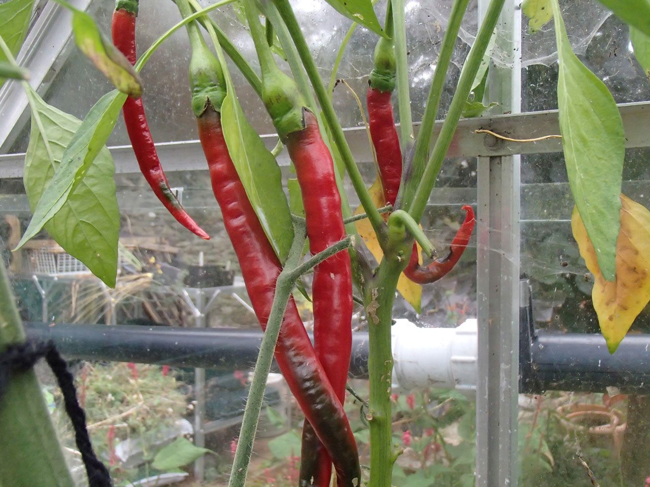 Chilli Joe's Long Cayenne