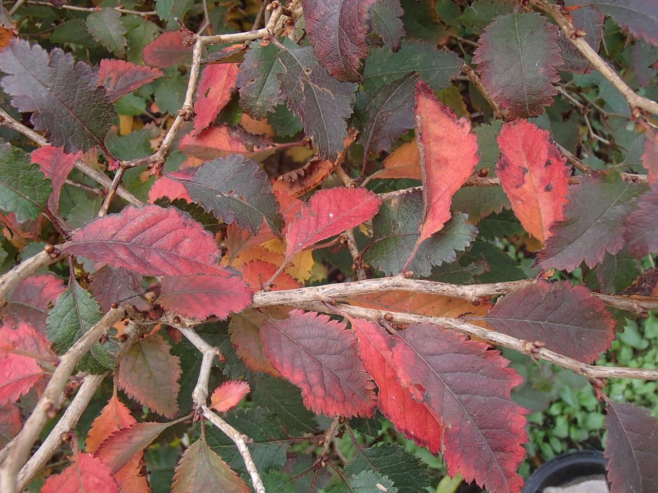 Prunus incisa kojo-no-mai autumn leaves