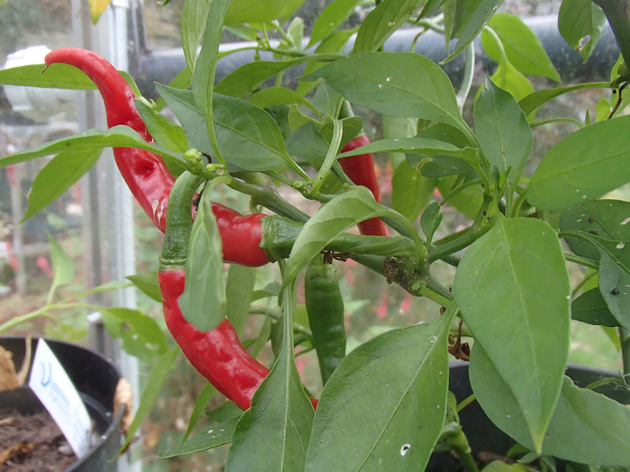 Chilli 'Ring of Fire'
