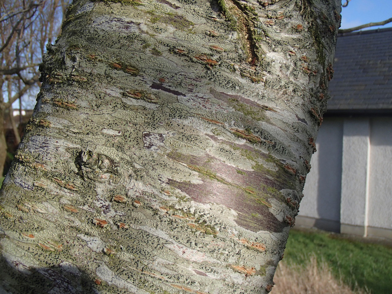attractive bark on ornamental cherry