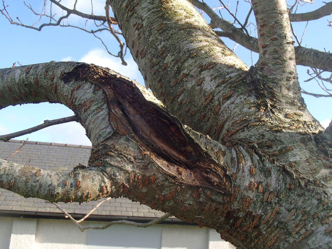 Damaged ornamental cherry tree