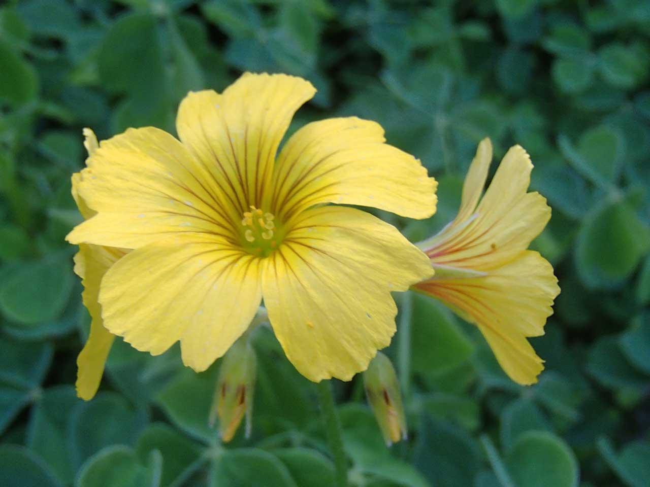 oca-flowers