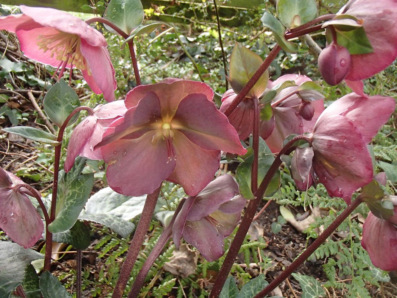 Hellebore 'Penny's Pink'