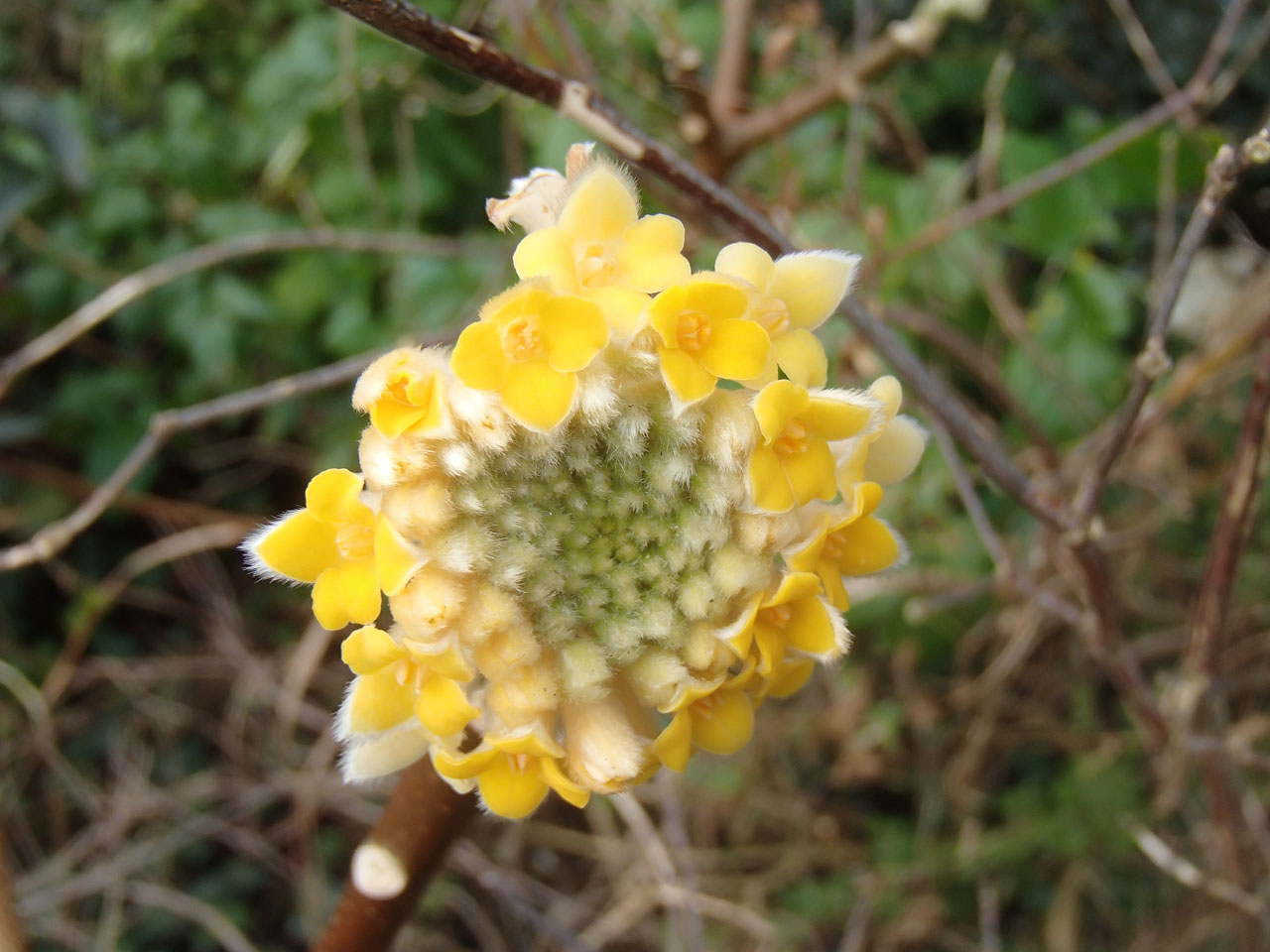 edgeworthia flower