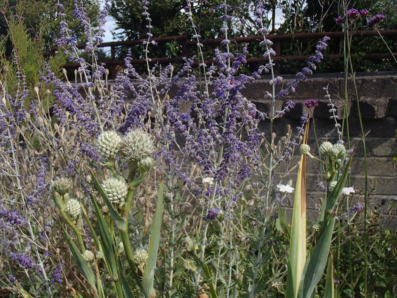 Eryngium yuccifolium and Perovskia 'Blue Spire'