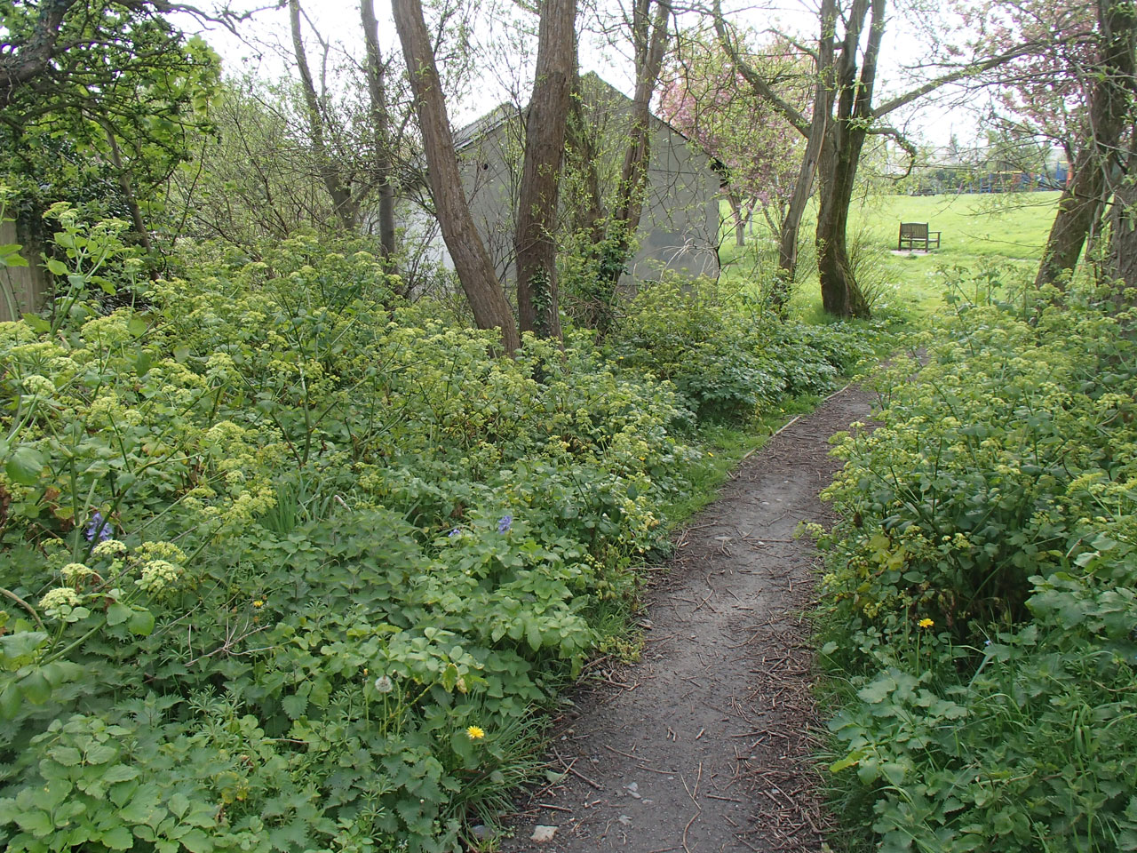 Alexanders edging the path to the park