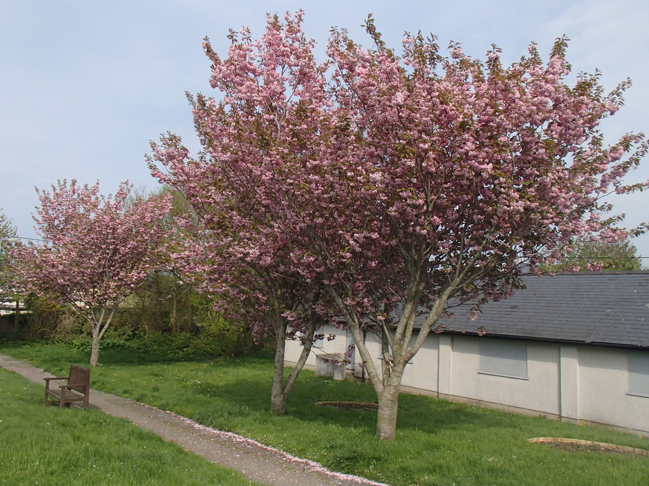 Trio of cherry trees in bloom