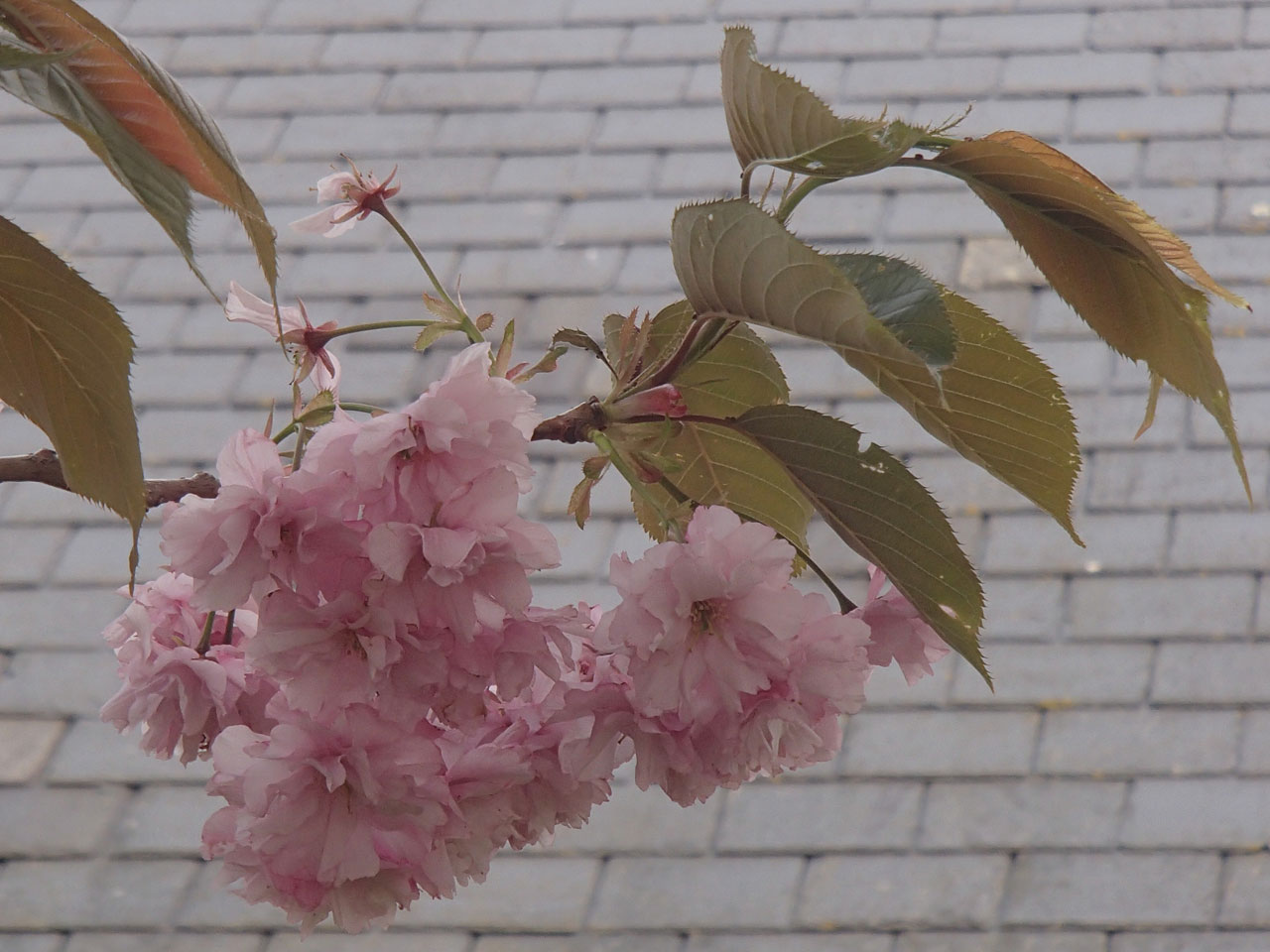 Cherry blossom against slate roof